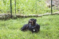 Dachshound жуя на ручке Стоковое Фото