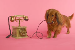 Dachshound avec le telephon Images libres de droits