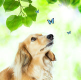 Dachshound with blue butterflies. Long hair Dachshund looking at the blue butterflies with shiny green leaves Stock Photography