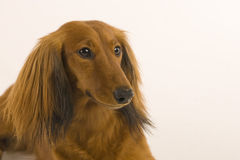 Dachshound Portrait Royalty Free Stock Photos