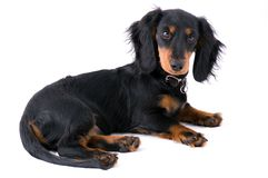 Dachshound puppy lying. Black dachshound puppy lying on the ground - white background (isolated Stock Photo