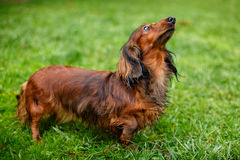 dachshund ανατρέχοντας Στοκ εικόνα με δικαίωμα ελεύθερης χρήσης