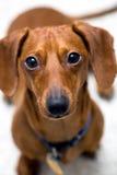 dachshund ανησυχία βλέμματος Στοκ φωτογραφίες με δικαίωμα ελεύθερης χρήσης