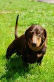 dachshund αρκετά Στοκ Εικόνες