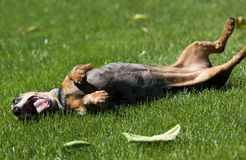 dachshund ευτυχής πολύ Στοκ Εικόνες