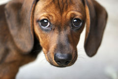 dachshund κουτάβι Στοκ εικόνες με δικαίωμα ελεύθερης χρήσης