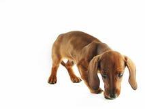 dachshund κουτάβι Στοκ Φωτογραφίες