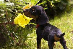 dachshund κουτάβι Στοκ Φωτογραφία