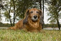 dachshund μακρυμάλλης Στοκ Εικόνες