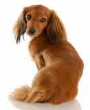 dachshund μαλλιαρή μακριά μικρογ&rho Στοκ Φωτογραφία