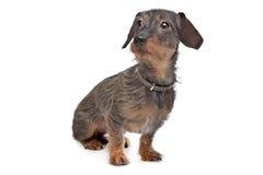 dachshund μαλλιαρό καλώδιο Στοκ Φωτογραφίες
