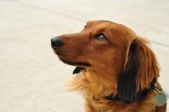 dachshund μαλλιαρό μακροχρόνιο κό&k στοκ φωτογραφία