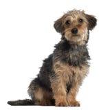 dachshund πορτρέτο Στοκ εικόνα με δικαίωμα ελεύθερης χρήσης