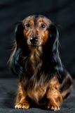 Dachshund σε ένα σκοτεινό υπόβαθρο Στοκ Φωτογραφίες