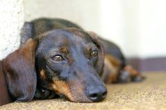 dachshund σκυλί Στοκ εικόνα με δικαίωμα ελεύθερης χρήσης