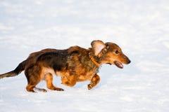 dachshund τρέχοντας Στοκ Εικόνες