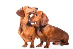 dachshund выслеживает 2 Стоковое Изображение