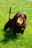 dachshund довольно Стоковое Изображение RF