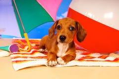 dachshund пляжа Стоковая Фотография RF