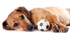dachshund шарика лежит красный цвет стоковое изображение