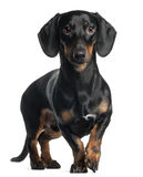 Dachshund, 1 year old, standing Stock Image