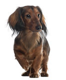 Dachshund, 10 months old Royalty Free Stock Images
