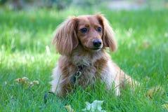 dachshund Stockfotos