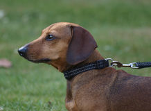 Dachshund. Profile of head with lead Stock Images