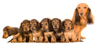 Dachshund Stockfotos