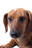 dachshund Стоковые Изображения
