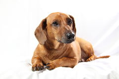 Dachshund Photos stock