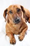 dachshund Стоковое фото RF