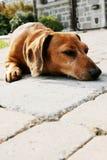 Dachshund Royalty Free Stock Photo