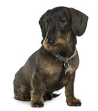 Dachshund, 11 years old, sitting Royalty Free Stock Photos