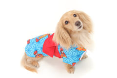 Dachshund Images stock