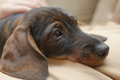 Dachshund. Portrait of wire-haired dachshund, wild boar colored Stock Photos