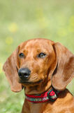 Dachshund. A beautiful Dachshund dog head portrait with cute expression in the face watching other dogs in the park outdoors Royalty Free Stock Images