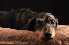 Dachshund. Lying down on a blanket Stock Images