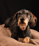 Dachshund. Lying down on a blanket Royalty Free Stock Photo