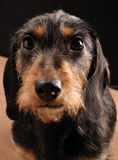 Dachshund. Looking up to you Royalty Free Stock Photography