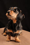 Dachshund. Sitting on a blanket Stock Photo