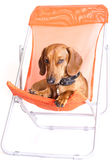 Dachshund. Resting in a beach chair Stock Photos