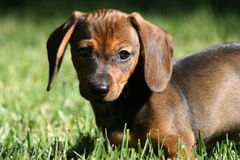 Dachshund Photographie stock