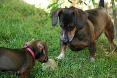 Dachshund. Adult and puppy dachshunds looking over a ball royalty free stock photo