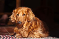 Dachshund Stock Photo