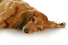 Dachshund. Long haired miniature dachshund laying down with reflection on white background Stock Photos