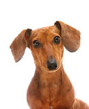 Dachshund. Looking to camera over white background Stock Photography