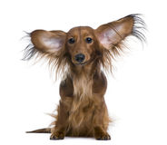 Dachshund, 2 years old, with ears in the air Royalty Free Stock Photography