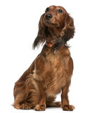Dachshund, 2 years old, sitting Stock Image