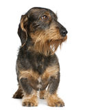 Dachshund, 2 years old, standing Royalty Free Stock Images